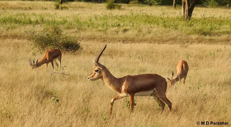 Chinkara or Indian gazelle