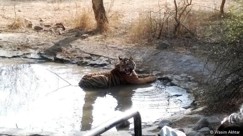 Tiger in waterhole - Ranthambore