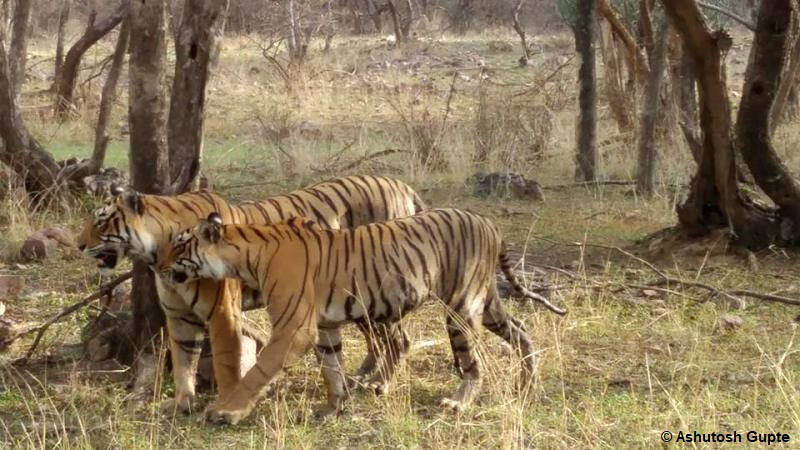 Tiger with cub in Ranthambore