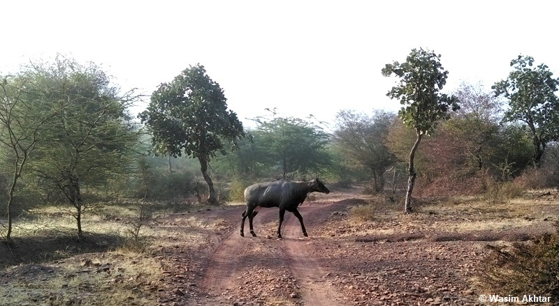 Nilgai or blue bull in Ranthambore National Park