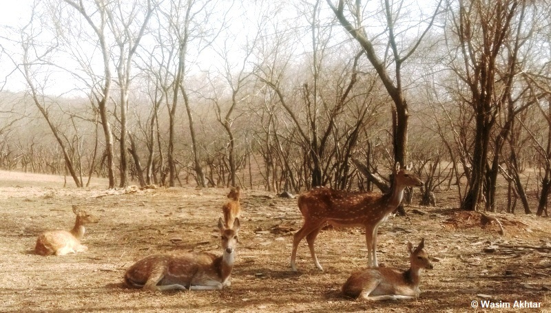 Deer in Ranthambore