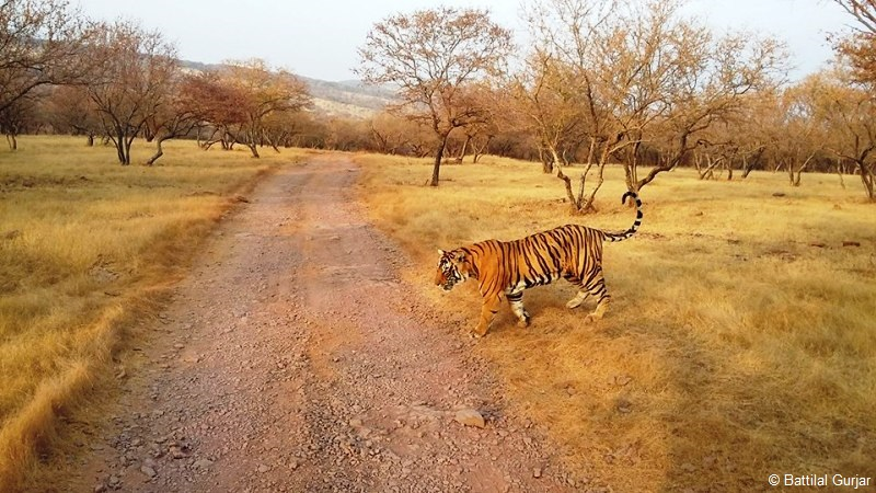 Packman T85 in Ranthambore National Park