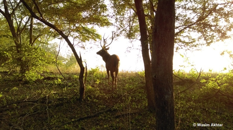 Sambar Deer Standing at Malik Lake Ranthambore