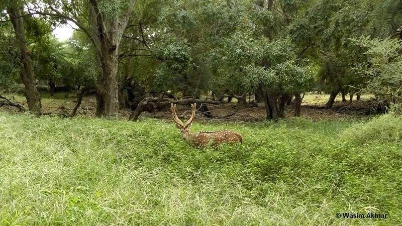 Male Spotted Deer - Antlers
