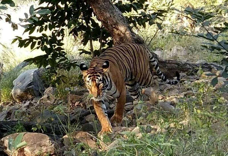 Spectacular sighting of Tigress Noor T-39 at zone 2 in Ranthambore National Park
