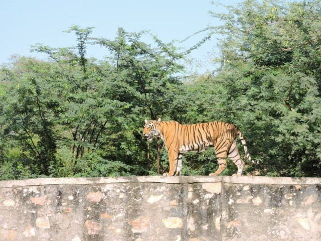 Tigress T83 Lightning sojourn out of Ranthambore National Park