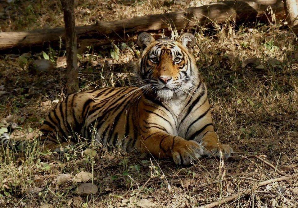 Tigress T107 aka Sultana Ranthambore