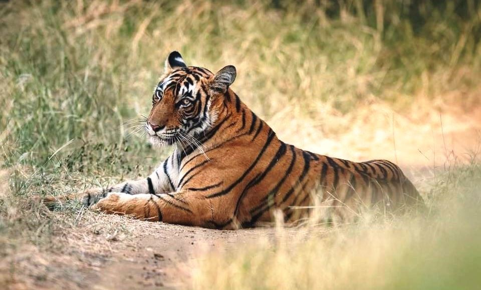 Tiger vs Python - Rare footage in Ranthambore National Park
