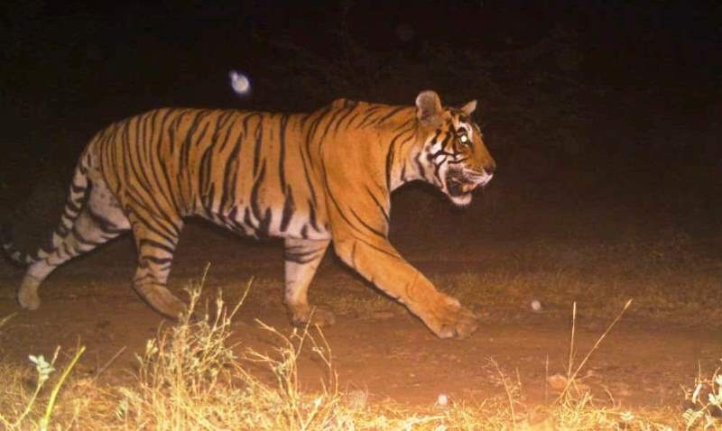 Ranthambore's Tiger T 38, which wandered into the MP forest, returned home after 8 years