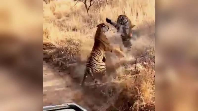 Ranthambore-Tiger-Fight