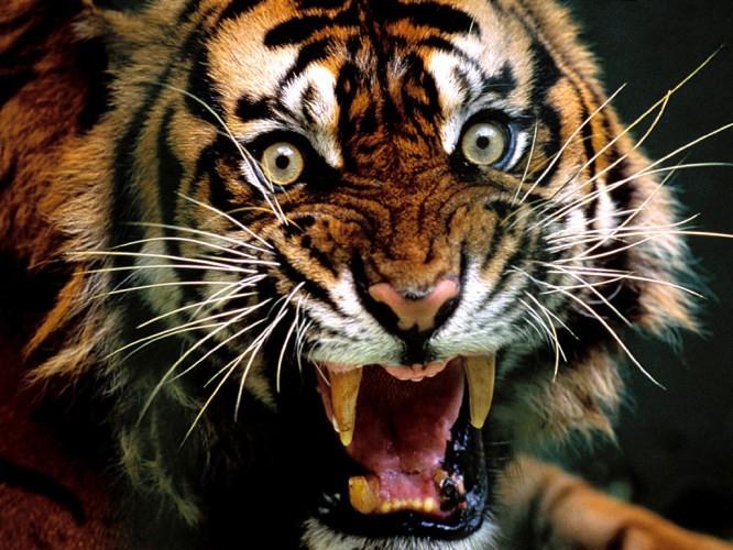 ranthambhore-tiger