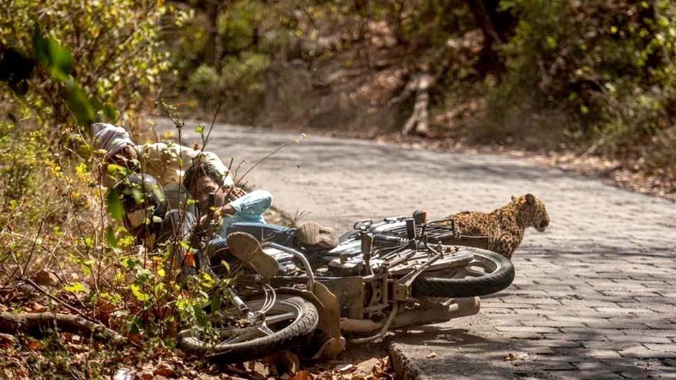 Leopard hit with bike of devotees inside Ranthambore Park