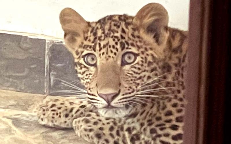 Leopard-in-Ranthambore-Hotel