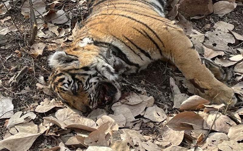 Dead cub of tigress T 102 in Ranthambore