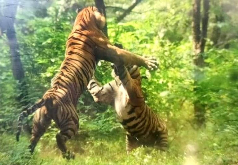 tiger-fight-ranthambore