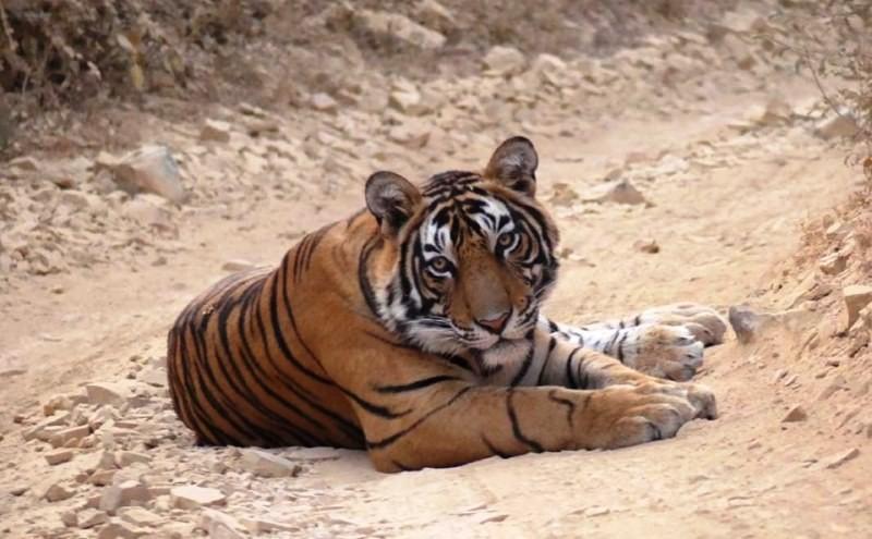 Tiger T 108 aka Jai in Ranthambore