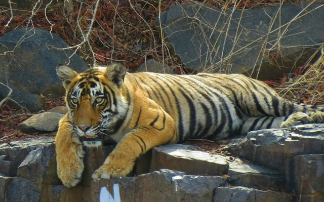 Tiger T 109 was tranquilized by the Forest Department at Ranthambore