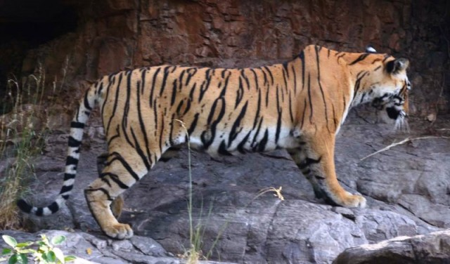 The Tigress T-73 Appeared with Three Cubs in Ranthambore National Park