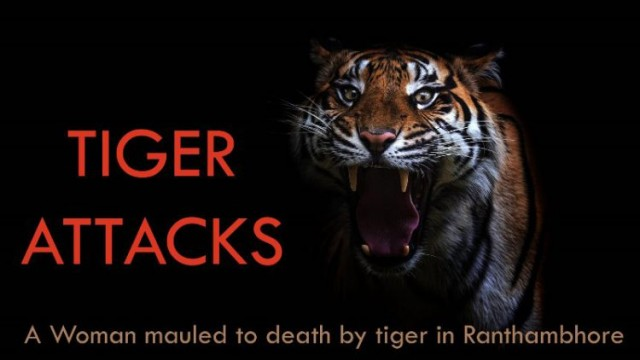 Woman killed in tiger attack in Ranthambore: Tiger Movement in rural Area
