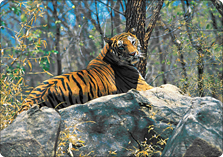ranthambore 